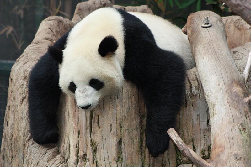 Панда пришла в Россию…